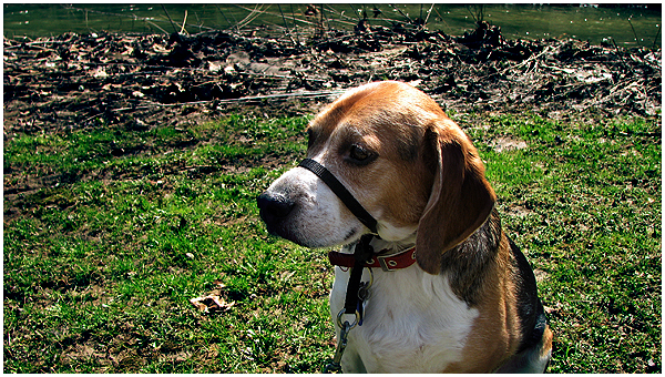 Best Dog Collars for Pulling on a Leash - Petful